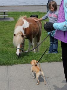 Jeb the miniature horse